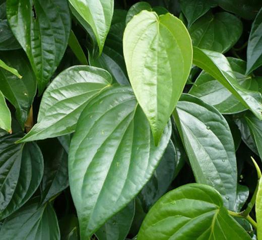 Kinh nghiệm chữa ghẻ nước bằng lá cây quanh vườn