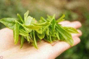 Lá trà xanh trị viêm phụ khoa